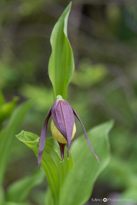 Lepi čeveljc (Cypripedium calceolus L.)
