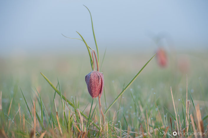 Močvirski tulipan ali močvirska logarica (Fritillaria meleagris)
