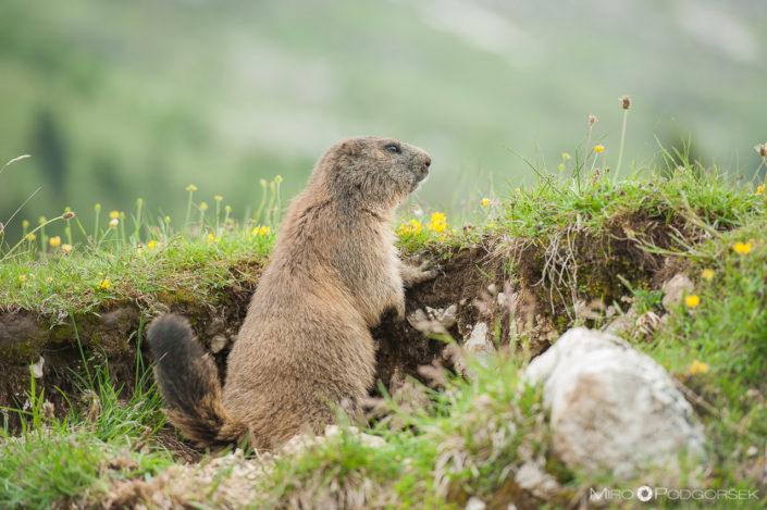 Alpski svizec (Marmota marmota)