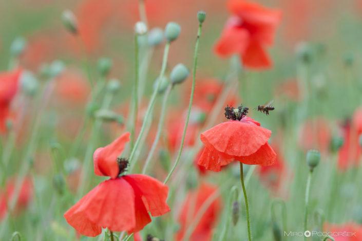 Bees graze on the poppy