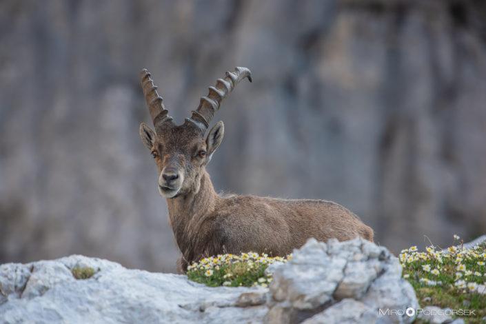 Kozorog (Ibex)
